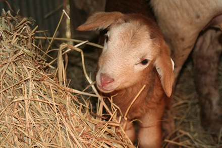 Baby sheep spends a warm winter at Heifer Ranch
